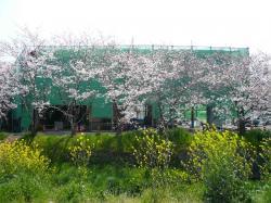 赤坂 桜1