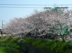 赤坂 桜2